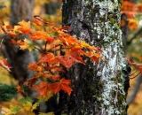 Baxter-State-Park-maple-tree-close-up_DSC00041