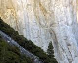 evergreen-on-slope-at-base-of-El-Capitan_DSC07979