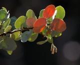 manzanita-leaves-in-Yosemite_DSC07392