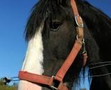 Black-Clydesdale-horse-close-up_DSC06080