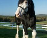 Black-Clydesdale-horse_DSC05904