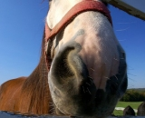 Clydesdale-horse-looking-through-fence_DSC09292