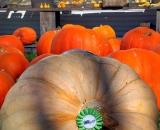 Large prize winning pumpkin in front of barn