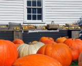 Large pumpkins in front of barn