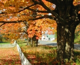 autumn-maples-and-white-picket-fence_RAG 059