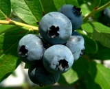 close-up-of-blueberries_P1070151
