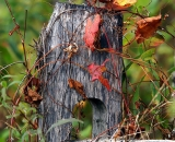 colorful-fall-vines-around-wooden-fence-post_DSC02629