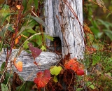colorful-fall-vines-around-wooden-fence-post_DSC02630