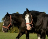 two-Black-Clydesdale-horses_DSC06075