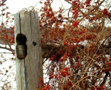 wooden-fence-post-with-bittersweet_DSC01408