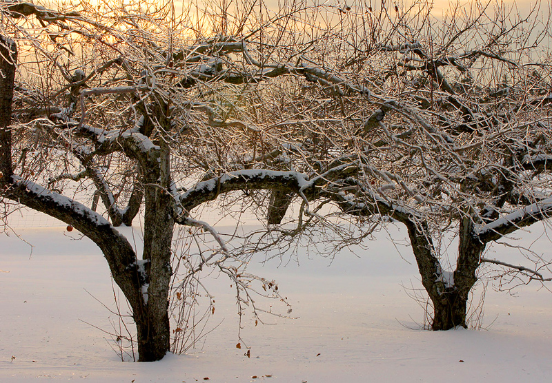 Apple trees encrusted with ice at sunset