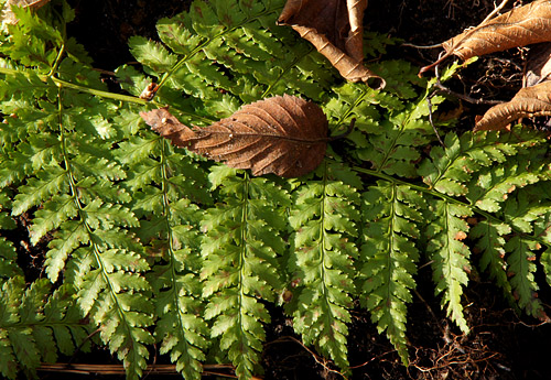 New ferns and old leaves