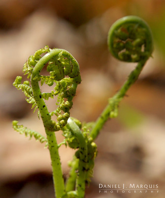 young fern sprouts