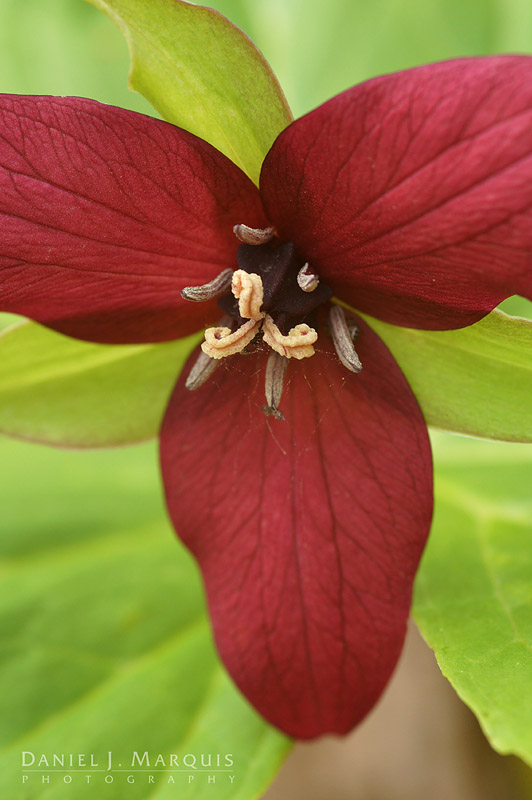 "Red Trillium, aka ""Stinking Benjamin"" in bloom"