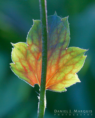 backlight on coral bell leaf