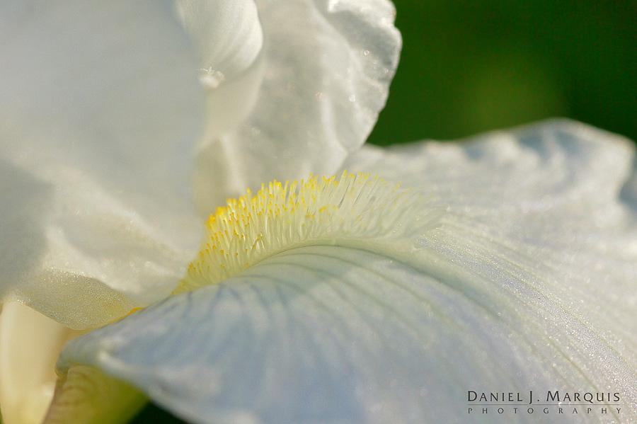 dappled lighting on bearded iris