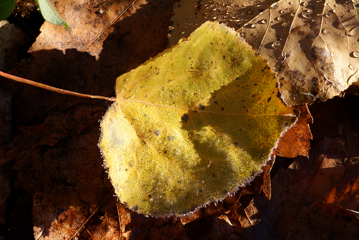 autumn-poplar-leaf-with-frost