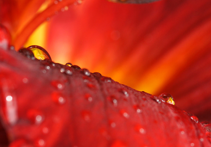 close-up-of-raindrop-on-daylily