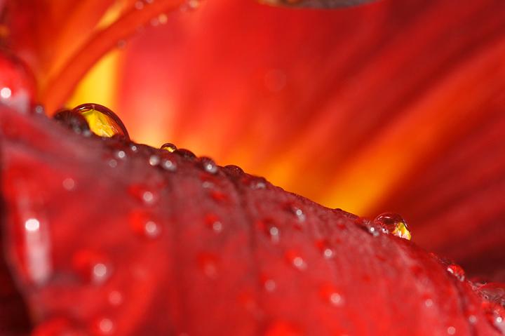 close-up-of-raindrop-on-daylily