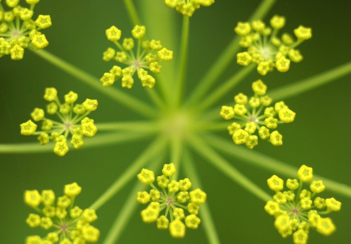 dill-flower-abstract