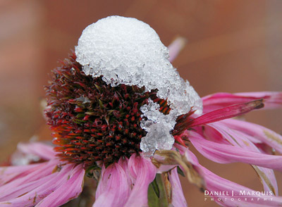 Early snow on top of Purple Coneflower