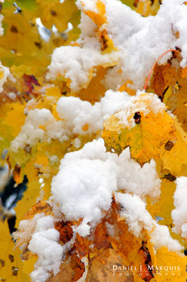Early snow on maple leaves still clinging to the tree