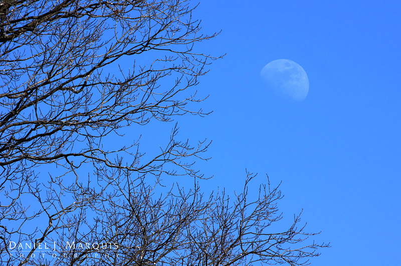 Moon rising above tree in blue afternoon sky