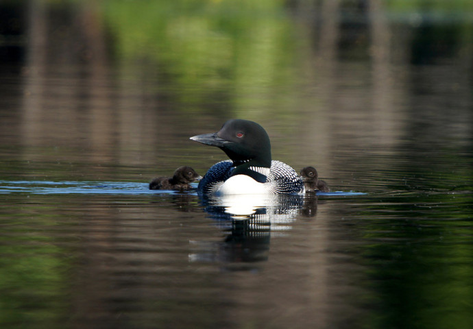 Loon parent with two chicks